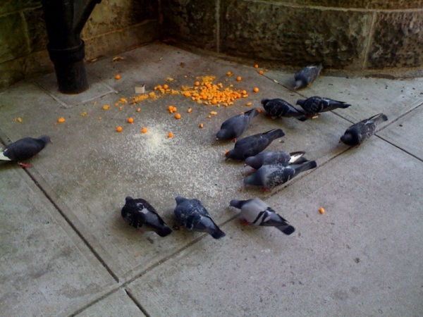 birds eating cheetos